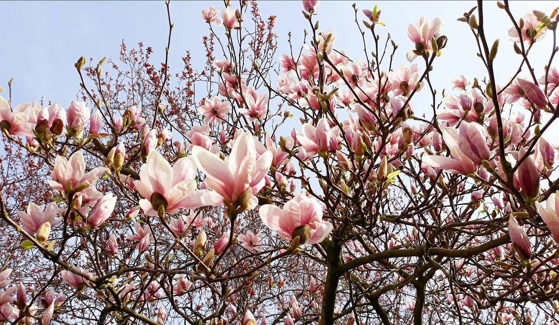 afbeelding magnolia Amersfoort