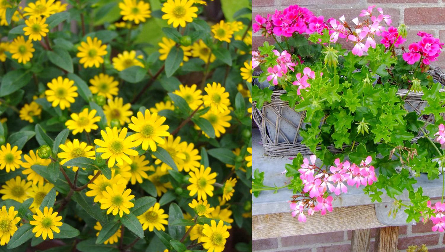 Boom In Pot Op Balkon.Vrolijk Je Terras Of Balkon Op Met Eenjarige Planten In Pot Lekker